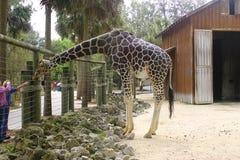 Jirafa en parque zoológico Fotos de archivo