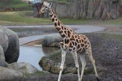 Jirafa en parque zoológico Fotos de archivo libres de regalías