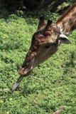 Jirafa en parque zoológico Foto de archivo