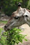 Jirafa en parque zoológico Fotografía de archivo libre de regalías