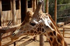 Jirafa en parque zoológico de la isla de Fuerteventura imagenes de archivo