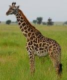 Jirafa en Serengeti, Tanzania Imagen de archivo