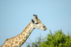 Jirafa en Suráfrica fotos de archivo libres de regalías
