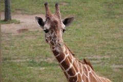 Jirafa en Suráfrica Foto de archivo