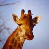 Jirafa en Suráfrica fotografía de archivo libre de regalías
