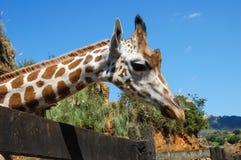 Jirafa en un parque zoológico Fotos de archivo