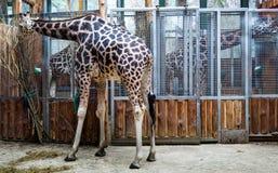Jirafa en una consumición del parque zoológico imagen de archivo libre de regalías