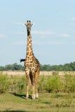 Jirafa en Zambia Fotos de archivo libres de regalías