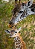 Jirafa femenina con un bebé en la sabana kenia tanzania La África del Este Foto de archivo