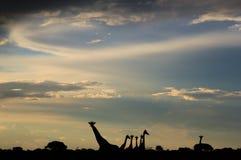 Jirafa - fondo africano de la fauna - siluetas de la libertad Fotos de archivo libres de regalías