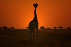 Jirafa - fondo de la fauna - actitud de la puesta del sol del oro Imagen de archivo libre de regalías