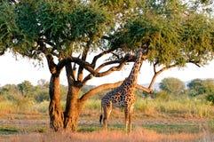 Jirafa fotografiada en el interior en Zambia Imagen de archivo libre de regalías