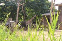 Jirafa grande, África 2018 Adultos jovenes El animal de África Fotos de archivo