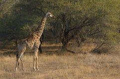 Jirafa hermosa en un parque africano Imágenes de archivo libres de regalías