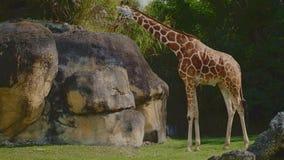 Jirafa hermosa en un parque zoológico metrajes