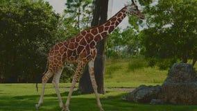 Jirafa hermosa en un parque zoológico almacen de metraje de vídeo