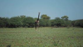 Jirafa hermosa que camina en un campo verde en África en un día soleado almacen de metraje de vídeo