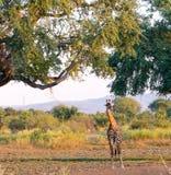 Jirafa joven en el interior en Zambia Fotografía de archivo