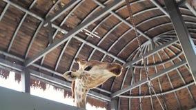 Jirafa joven en el parque zoológico Safari Park almacen de video