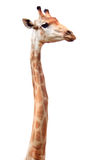 Jirafa larga femenina del cuello Fotos de archivo