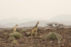Jirafa masculina que camina en arbusto africano Parque nacional de Etosha, Namibia fotos de archivo