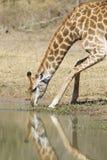 Jirafa meridional femenina que bebe, Suráfrica (camelopa del Giraffa Imagenes de archivo