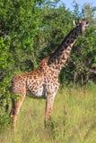 Jirafa muy grande del maasai Tanzania, África Foto de archivo