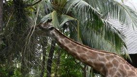 Jirafa o Giraffa en el parque del parque zoológico de Dusit o de Wana del dinar de Khao en Bangkok, Tailandia almacen de video