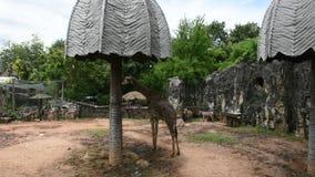 Jirafa o Giraffa en el parque del parque zoológico de Dusit o de Wana del dinar de Khao en Bangkok, Tailandia almacen de metraje de vídeo