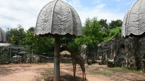 Jirafa o Giraffa en el parque del parque zoológico de Dusit o de Wana del dinar de Khao en Bangkok, Tailandia metrajes