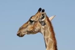Jirafa, parque nacional de Etosha, Namibia Imágenes de archivo libres de regalías
