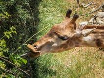 Jirafa, parque zoológico bíblico de Jerusalén en Israel Imagen de archivo