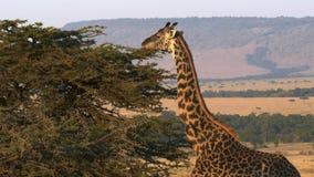 Jirafa que alimenta con la escarpa del oloololo en el fondo en el masai Mara, Kenia almacen de metraje de vídeo