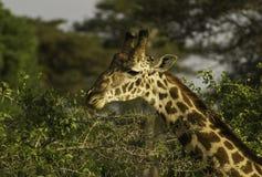 Jirafa que alimenta en el parque nacional Kenia África de Tsavo Imagenes de archivo
