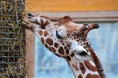 Jirafa que alimenta en parque zoológico Fotos de archivo libres de regalías
