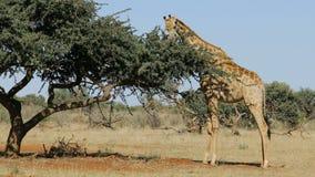 Jirafa que alimenta en un árbol almacen de video