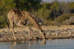 Jirafa que bebe en el waterhole en el parque nacional de Etosha, Namibia Fotografía de archivo libre de regalías