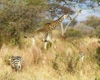 Jirafa que camina detrás de cebras Foto de archivo libre de regalías