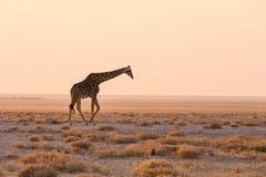 Jirafa que camina en el arbusto en la cacerola del desierto en la puesta del sol Safari de la fauna en el parque nacional de Etos Fotos de archivo