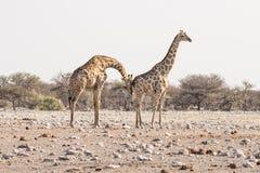 Jirafa que camina en el arbusto en la cacerola del desierto Safari de la fauna en el parque nacional de Etosha, el destino princi Fotos de archivo libres de regalías