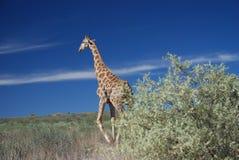 Jirafa que camina en el salvaje, parque internacional de Kgalagadi Imagen de archivo libre de regalías