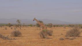 Jirafa que camina en una sabana africana solitaria y seca, reserva de Samburu almacen de metraje de vídeo