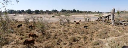 Jirafa que camina hacia waterhole en la puesta del sol Safari de la fauna adentro Imagenes de archivo