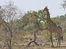 Jirafa que camina hacia waterhole en la puesta del sol Safari de la fauna adentro Imagen de archivo libre de regalías