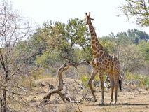 Jirafa que camina hacia waterhole en la puesta del sol Safari de la fauna adentro Fotografía de archivo libre de regalías