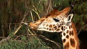 Jirafa que come arbustos de un primer del árbol almacen de metraje de vídeo