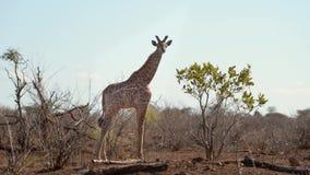 Jirafa que come de árbol del acacia en el parque nacional famoso de Etosha, el destino principal del viaje en Namibia, África almacen de video
