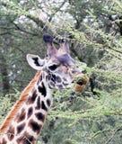 Jirafa que come el árbol del acacia Foto de archivo libre de regalías