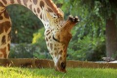 Jirafa que come la hierba Fotos de archivo libres de regalías