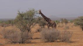 Jirafa que come las hojas de Bush espinoso, de la reserva y de la sabana africana 4K metrajes